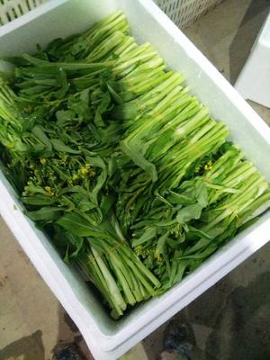 湖南省益阳市南县白菜苔 20~25cm