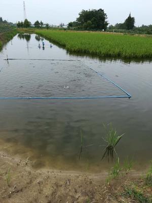 四川成都大邑县加州鲈鱼 人工养殖 1-1.5公斤
