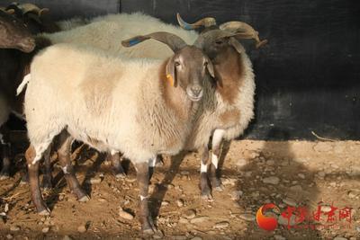 这是一张关于藏羊 110-140斤的产品图片