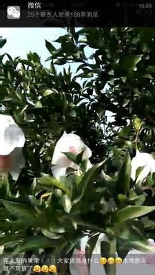 这是一张关于春见 6.5 - 7cm 2 - 3两的产品图片