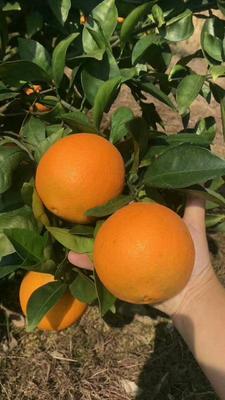 这是一张关于脐橙 80-85mm 4-8两的产品图片