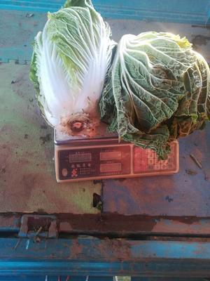 这是一张关于郑杂 6~10斤 净菜的产品图片