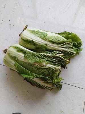 吉林省四平市梨树县91-12白菜 3~6斤 毛菜