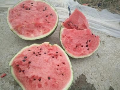 河北保定京欣西瓜 有籽 1茬 9成熟 8斤打底
