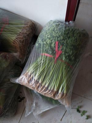 山东省滨州市阳信县铁杆青香菜 35cm以上