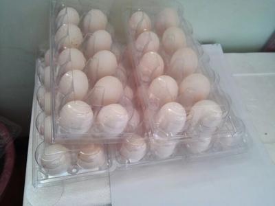 江苏常州肉鸽蛋 食用 箱装