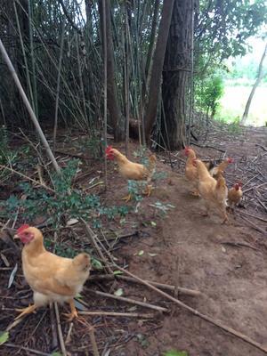 这是一张关于三黄鸡 统货 2-3斤的产品图片