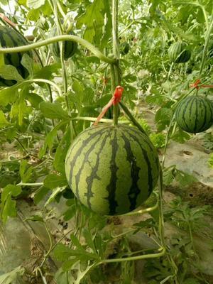 这是一张关于特小凤西瓜 有籽 1茬 9成熟 2斤打底的产品图片