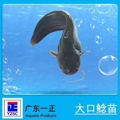 广东江门大口鲶鱼 人工养殖 0.5龙8国际官网官方网站以下