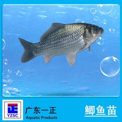 这是一张关于土鲫鱼 人工养殖 0.05龙8国际官网官方网站的产品图片
