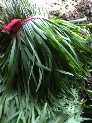 这是一张关于韭宝韭菜 头茬 35~40cm的产品图片