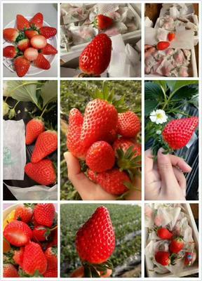 山东青岛甜宝草莓 40克以上