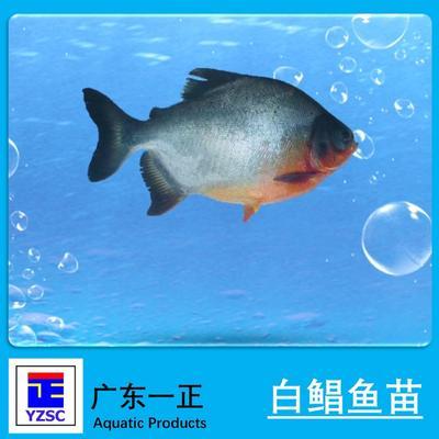 广东江门白鲳 人工养殖 0.5公斤以下