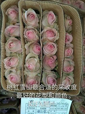 云南昆明切花玫瑰