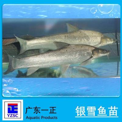 广东江门淡水银鳕鱼 人工养殖