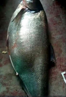 贵州遵义桐梓县加州鲈鱼 人工养殖 1.5-2.5公斤