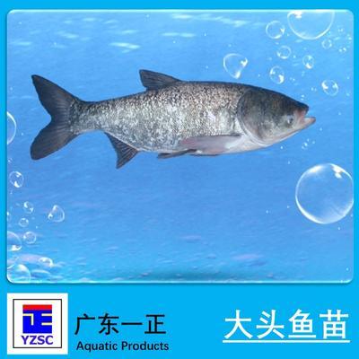 广东江门花鲢 人工养殖 0.05公斤