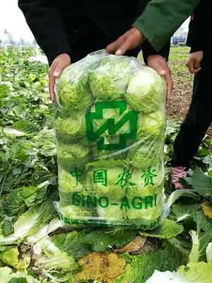 湖南省常德市汉寿县阳春白菜 3~6斤 净菜
