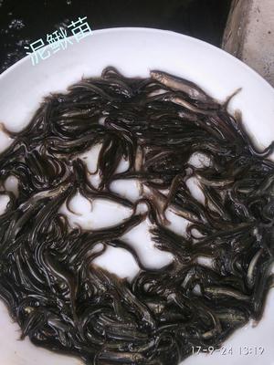 广东广州台湾泥鳅苗