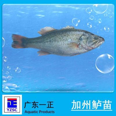 广东江门加州鲈鱼 人工养殖 0.5龙8国际官网官方网站以下