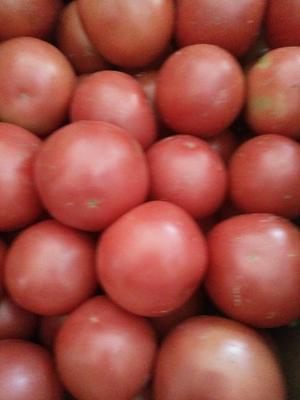 甘肃白银硬粉番茄 不打冷 硬粉 弧三以上