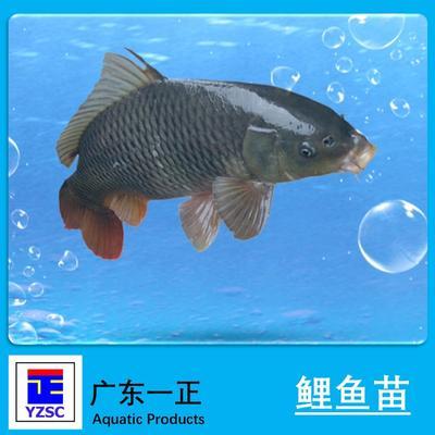 广东江门池鲤鱼 人工养殖 0.05龙8国际官网官方网站