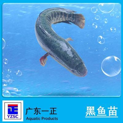 广东江门乌鳢 人工养殖 0.5龙8国际官网官方网站以下