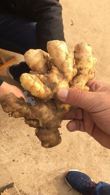 这是一张关于小黄姜 带土 3两以上的产品图片