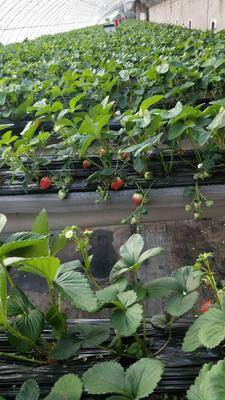 这是一张关于奶油草莓 20克以上的产品图片