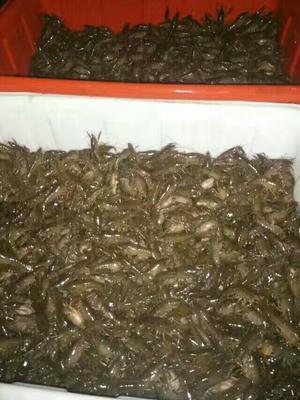 湖北荆州小龙虾苗