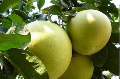 湖南常德苹果柚 1.5斤以上