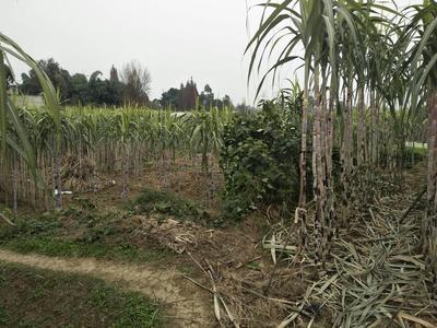 这是一张关于川蔗 2.5 - 3m 4 - 5cm的产品图片
