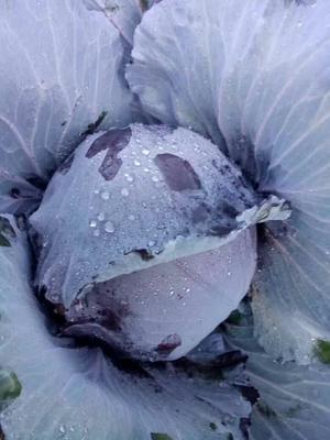 云南省楚雄彝族自治州元谋县紫甘蓝 1.0~1.5斤