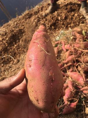 云南昆明白心红薯 红皮 1~3两