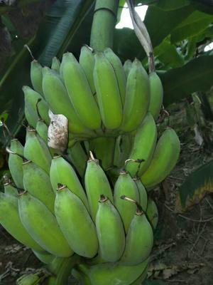 这是一张关于金粉一号芭蕉 八成熟 40斤以下的产品图片