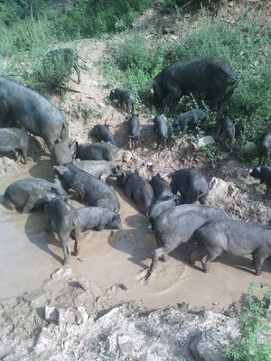 这是一张关于黑土猪 160斤以上的产品图片