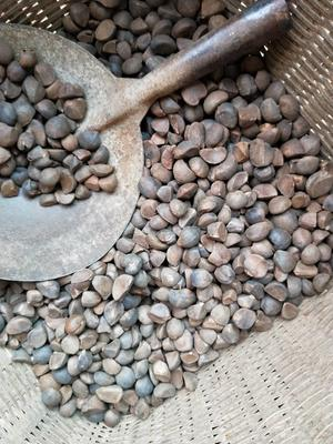 这是一张关于油茶籽的产品图片
