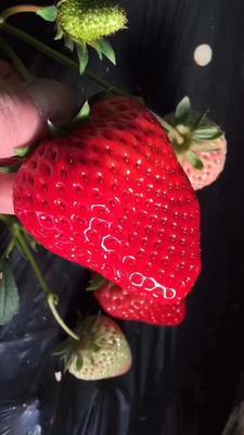 辽宁丹东丹东草莓 50克以上