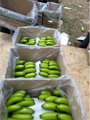 这是一张关于西双版纳香蕉 八成熟 60 - 70斤的产品图片