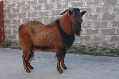 这是一张关于南江黄羊 80-110斤的产品图片