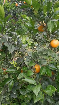 湖南怀化纽荷尔脐橙 70-75mm 4-8两