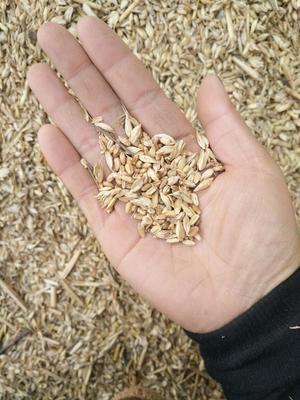这是一张关于瘪小麦的产品图片