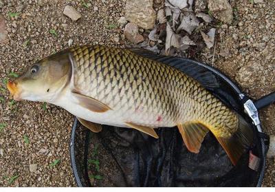 这是一张关于河鲤鱼 人工养殖 0.5-2.5龙8国际官网官方网站的产品图片