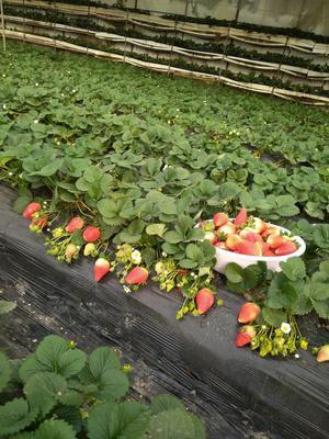 这是一张关于甜宝草莓 20克以上的产品图片