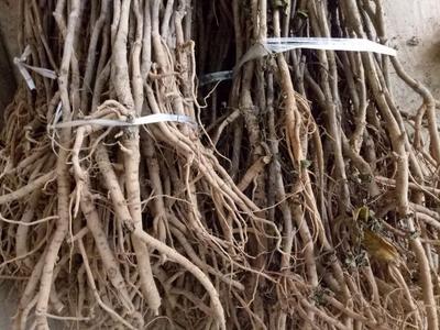 安徽亳州谯城区油用牡丹种苗 2~4cm 4~6cm 0.5米以下