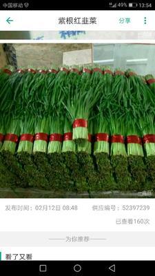 山东潍坊紫根红韭菜 头茬 35~40cm