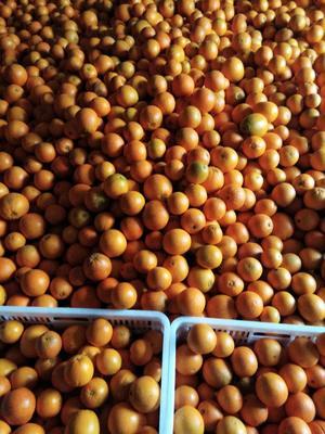 湖南湘西里耶脐橙 65 - 70mm 4-8两