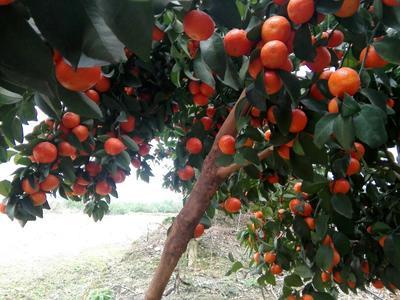 这是一张关于沙糖桔 4.5 - 5cm 1.5 - 2两 柑桔 沙糖桔的产品图片