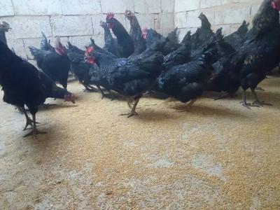 甘肃定西土乌鸡 2-3斤