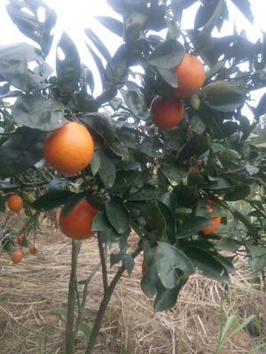 江西赣州赣南脐橙 55 - 60mm 4-8两